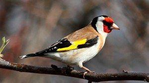 Ptica pasme dandy: podroben opis in značilnosti helikopterja