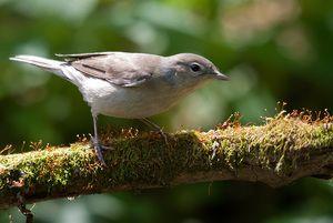 Metla ptičjega vrta: majhen solist v gozdnem gledališču