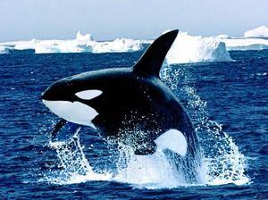 Kaj izgleda morilski kit?