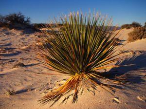 Rastline, ki rastejo v puščavi