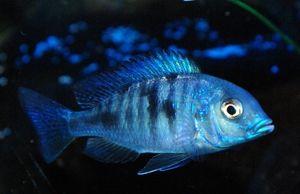 Blue Dolphin - čudovite ribe za akvarij