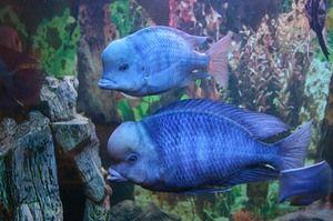 Dolphin blue: velikost akvarija, prehrane in nege