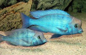 Cichlid ali modri delfin - lepa riba