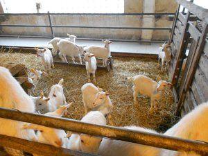 Reja in skladiščenje koz za začetnike