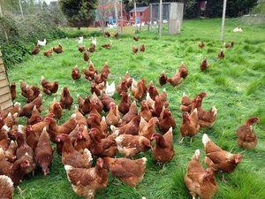 Plemenske piščance doma. Nasveti za začetnike