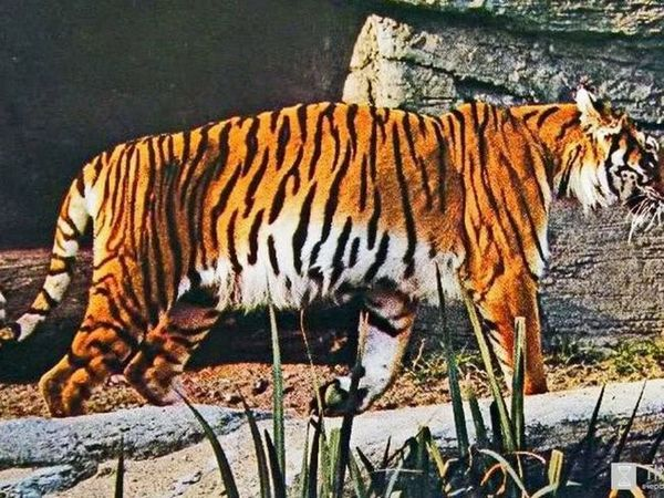 Transkaucanski tiger na pirodi