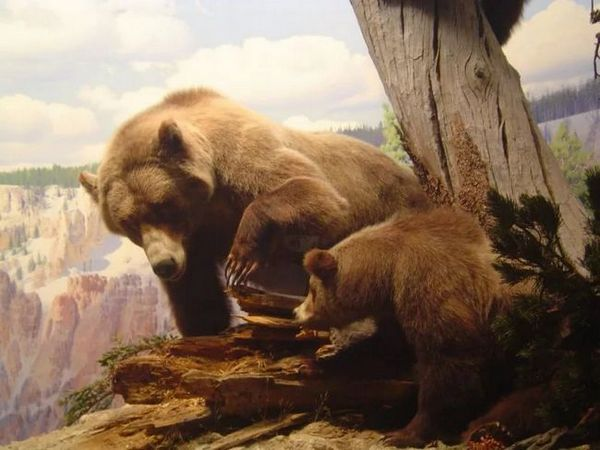 Jamski medved s potomci