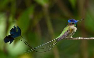 Redke ptice - čudovit Spatelit