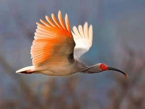 Redke ptice - japonski ibis