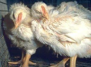 Mikoplazmoza dihal pri simptomih in zdravljenju pitovnih piščancev