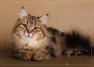 Ruska sibirska mačka: opis in značilnosti pasme