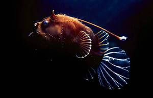 Ribolov ali morske ribe: opis in opis