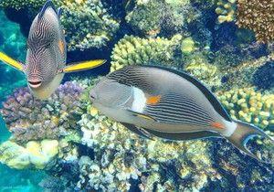 Fish blue greben kirurg-ljubimec prostornih akvarijih