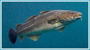 Ribe družine trsk: lastnosti, vrste, habitat