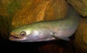 Kako izgleda riba iz jegulje?