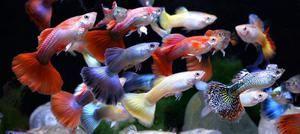 Guppy ribe v vašem akvariju: nego in vzdrževanje