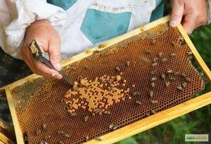 Kje začeti plemenske čebele doma od nič