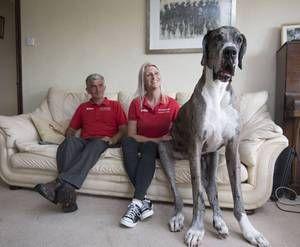 Največji pes na svetu, angel varuh za človeka