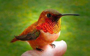 Najmanjša ptica na svetu. Opis ptičjega ptička