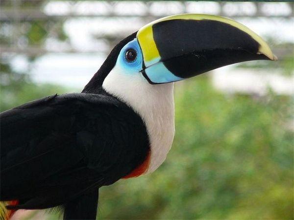 Kaj izgleda tukan ptica?