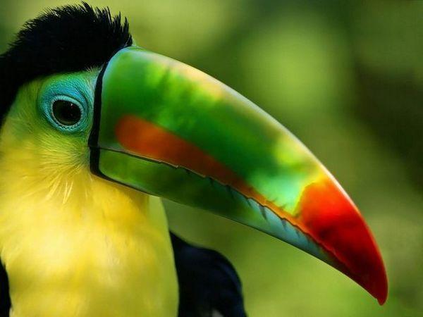 Nenavadna ptica z neverjetnim nosom - toucan