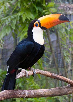 Kako vsebovati toucan