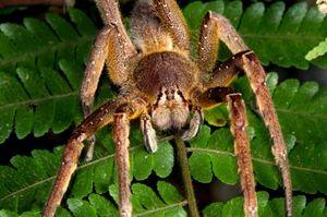 Največji in najnevarnejši pajki na svetu
