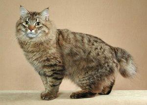 Največje mačke na svetu in njihova zgodovina