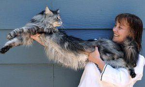 Največja mačka je Maine Coon Stewie