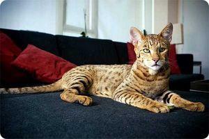 Značilnosti pasme mačke asher