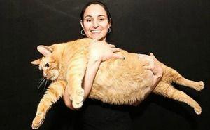 Himmi mačka je najdeblji na svetu