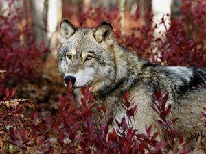 Največja vrsta volkov na svetu