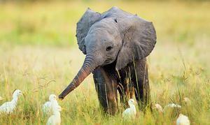 Najbolj zanimiva in nenavadna dejstva o slonih