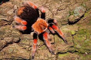 Najbolj strupen pajkov na svetu: okolje distribucije
