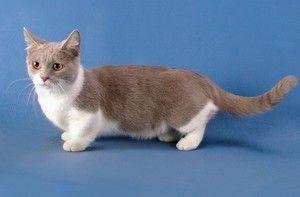 Najmanjša pasma mačk in mačk