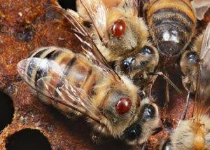 Varroatoza pri čebelah