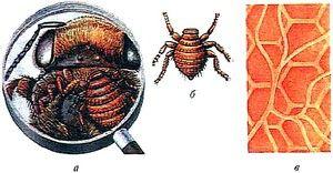 Brauleza v čebelah