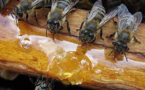 Krmljenje čebel