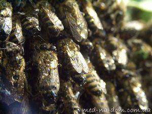 Mokre čebele
