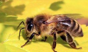 Čebela na listi