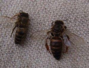 Znaki bolezni pri čebelah