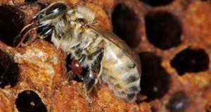 Bolne bolezni čebel