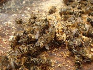 Beespine