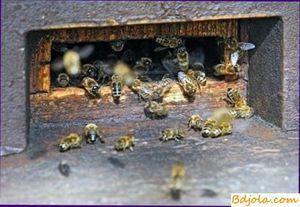 Septikemija čebel