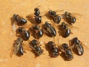 Kronična paraliza čebel