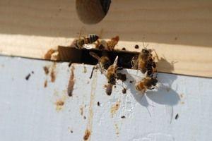 Nosematoza čebel