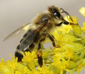 Bee na rožo