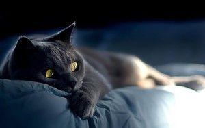 Značilnosti pasme ruske modre mačke