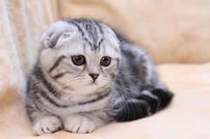 Narava Fold Cats