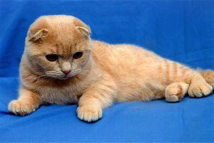 Škotski mačji maček